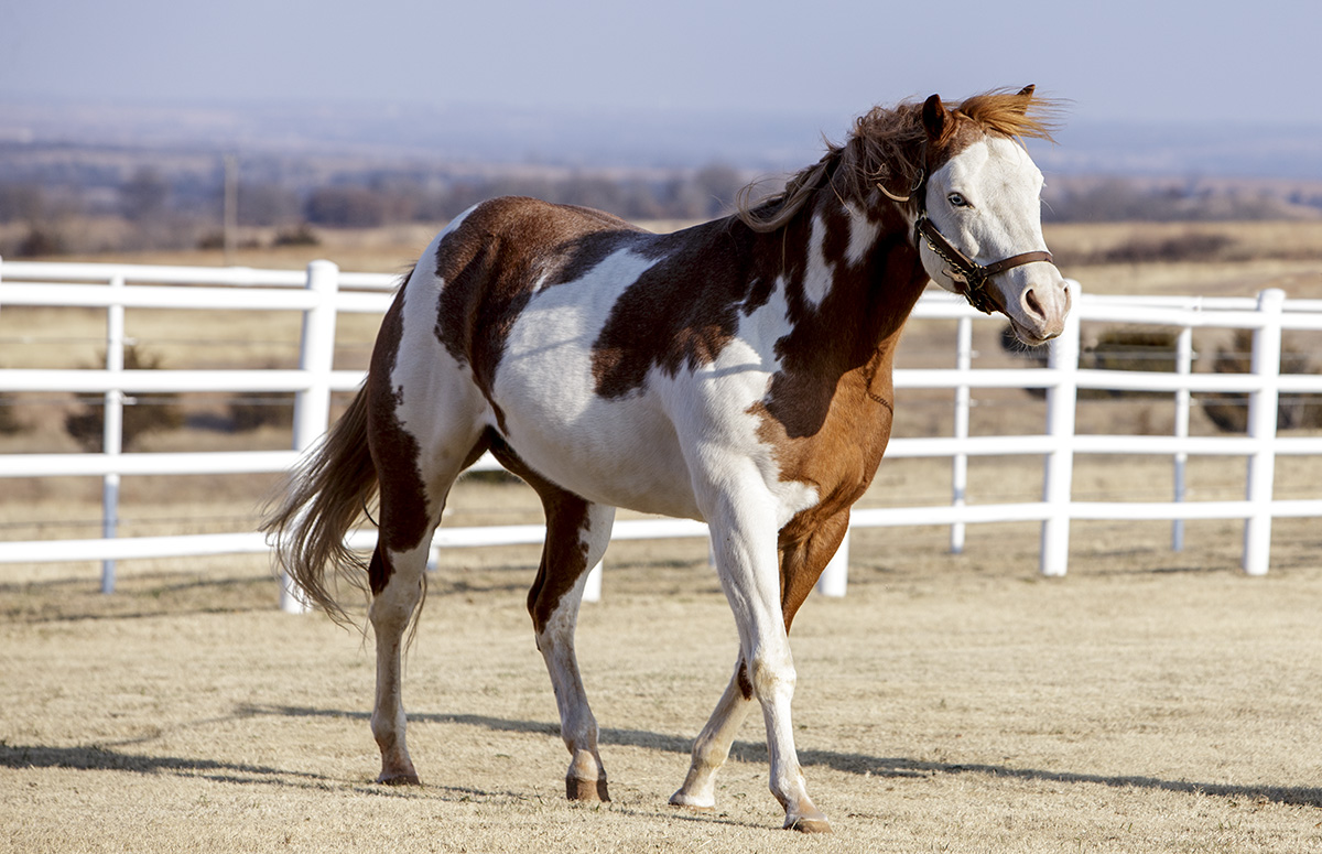 brown and white stallion