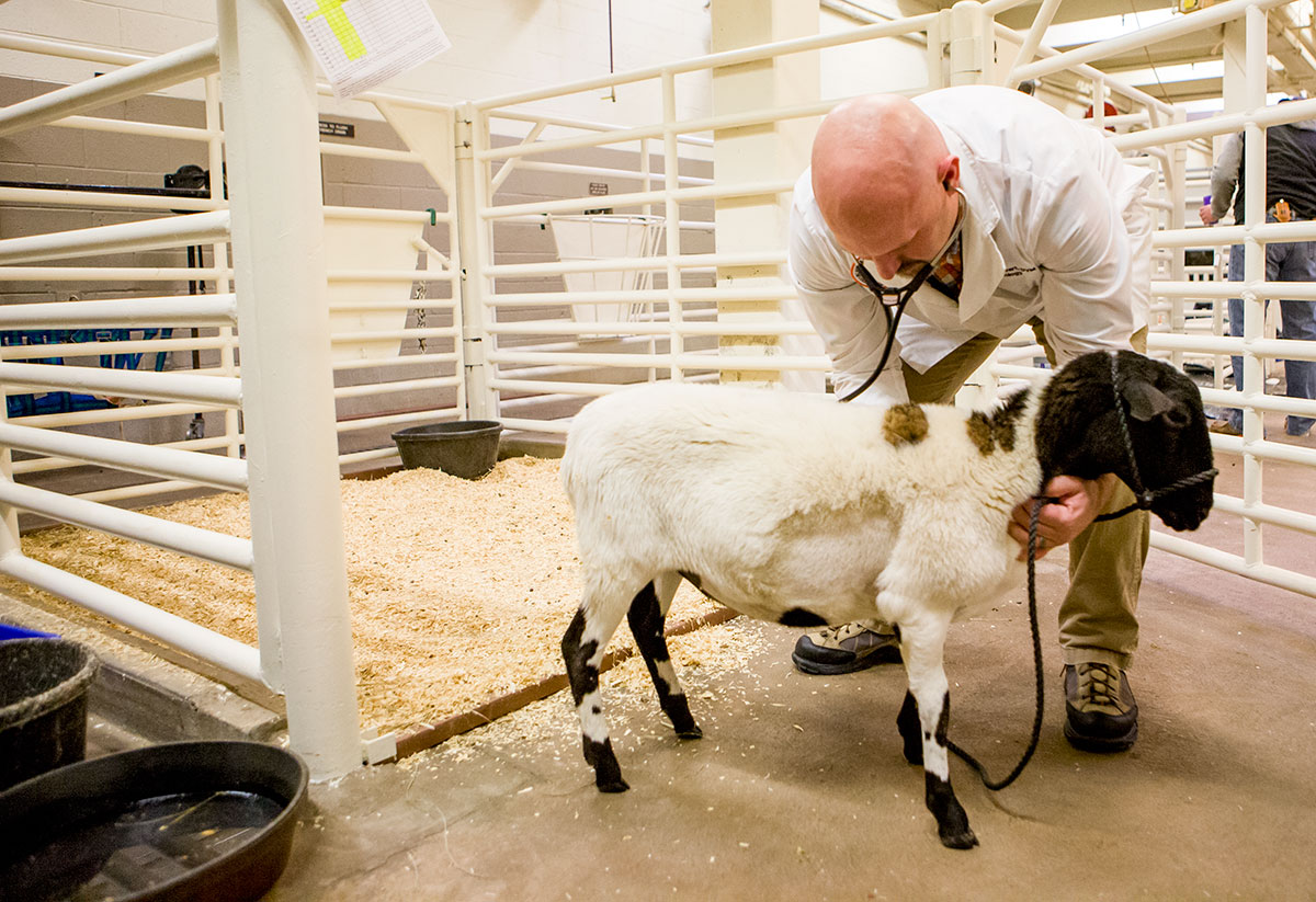 a male vet examining a sheep